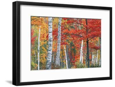 Sugar Maple, Acer Saccharum, and White Birch Trees, Betula Papyrifera, in Brilliant Autumn Hues-Ira Meyer-Framed Photographic Print