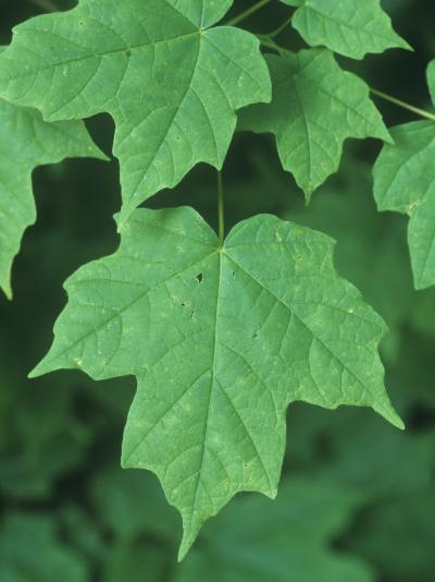 Sugar Maple Green Summer Leaves, Acer Saccharum, North America-David Sieren-Photographic Print