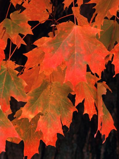 Sugar Maple Leaves in Fall, Vermont, USA-Charles Sleicher-Photographic Print