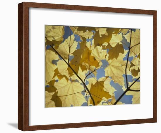 Sugar Maple Leaves-David Boyer-Framed Photographic Print