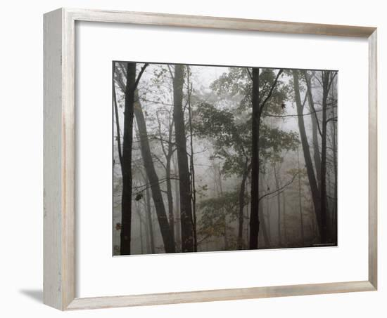 Sugar Maple Trees Stand Out in a Misty Woodland Scene, Monongahela National Forest, West Virginia-James P^ Blair-Framed Photographic Print