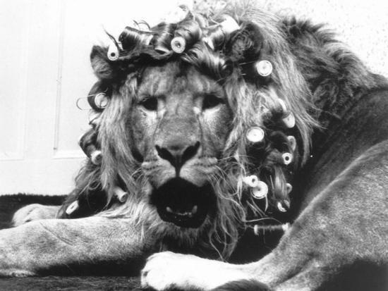 Sullivan the Lion with His Hair in Curlers at Knarsborough Zoo in Yorkshire--Photographic Print