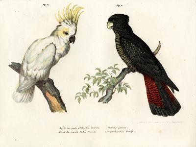 Sulphur-Crested Cockatoo, 1864--Giclee Print