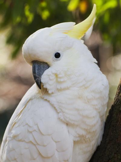 Sulphur-Crested Cockatoo, Dandenong Ranges, Victoria, Australia, Pacific-Schlenker Jochen-Photographic Print