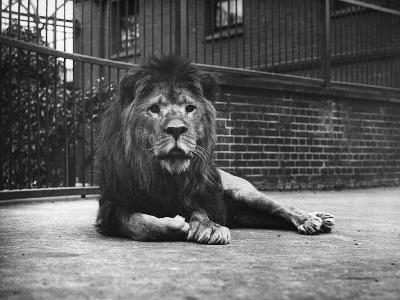 Sultan the Lion--Photographic Print