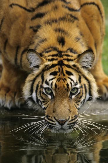 Sumatra Tiger Drinking, Portrait--Photographic Print