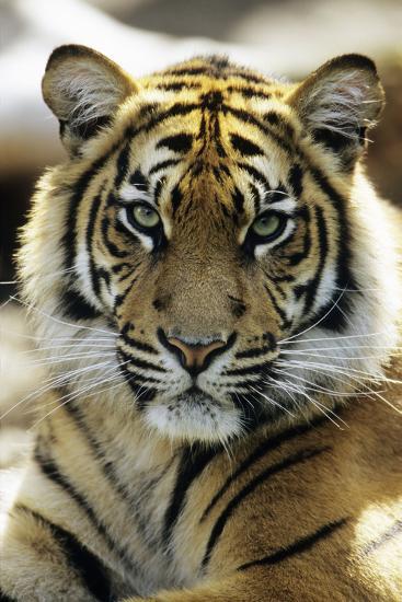 Sumatra Tiger Portrait--Photographic Print