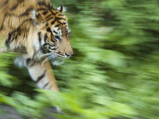 Sumatran Tiger Walking-Edwin Giesbers-Photographic Print