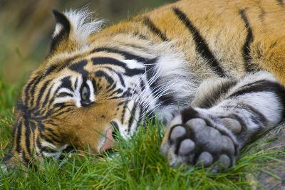 Sumatran Tiger--Photographic Print