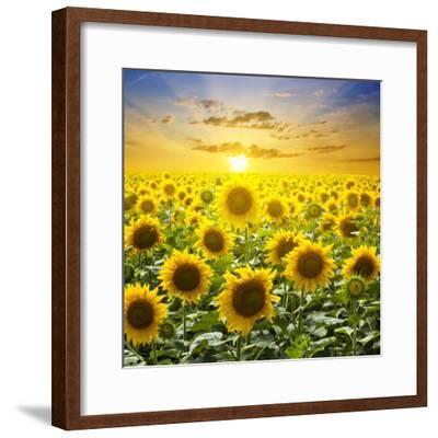 Summer Landscape: Beauty Sunset over Sunflowers Field-nadiya_sergey-Framed Photographic Print