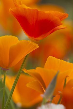 https://imgc.artprintimages.com/img/print/summer-mission-bell-poppies-in-full-bloom-seattle-washington-usa_u-l-pn72dq0.jpg?p=0