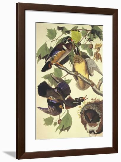 Summer Or Wood Duck-John James Audubon-Framed Art Print