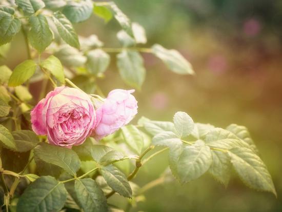 Summer Rose-Lebens Art-Art Print