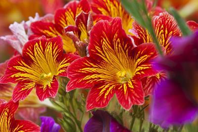 Summer Salpiglossis in Full Bloom, Washington, USA-Terry Eggers-Photographic Print