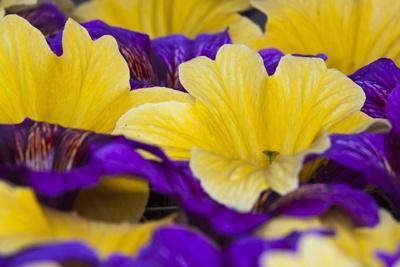 https://imgc.artprintimages.com/img/print/summer-salpiglossis-in-full-bloom-washington-usa_u-l-pn791w0.jpg?p=0