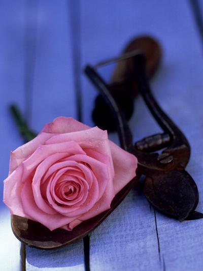 Summer Still Life Outdoors, Single Stem of Pink Rosa (Rose) Resting on Hand Trowel-James Guilliam-Photographic Print