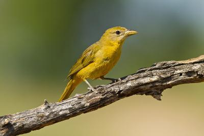 Summer Tanager (Piranga Rubra) Female Perched, Texas, USA-Larry Ditto-Photographic Print