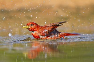 Summer Tanager (Piranga Rubra) Male Bathing, Texas, USA-Larry Ditto-Photographic Print