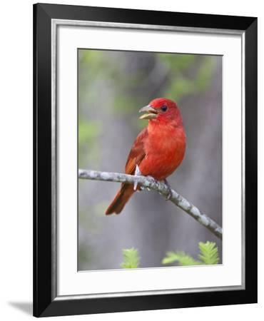 Summer Tanager, Texas, USA-Larry Ditto-Framed Photographic Print