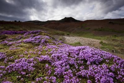 Summer Wildflowers in Iceland--Photographic Print