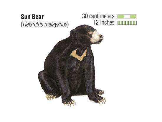 Sun Bear (Helarctos Malayanus), Mammals-Encyclopaedia Britannica-Art Print