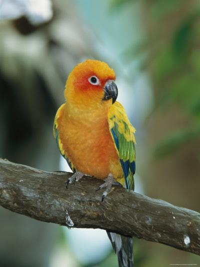 Sun Conure Parrot, Captive-George Grall-Photographic Print
