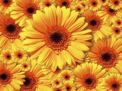 Sun flowers-Matthias Kulka-Giclee Print