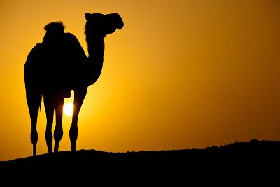Sun Going Down in a Hot Desert: Silhouette of a Wild Camel at Sunset-l i g h t p o e t-Photographic Print