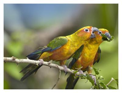 Sun Parakeet pair feeding on leaves, native to South America-Tim Fitzharris-Art Print