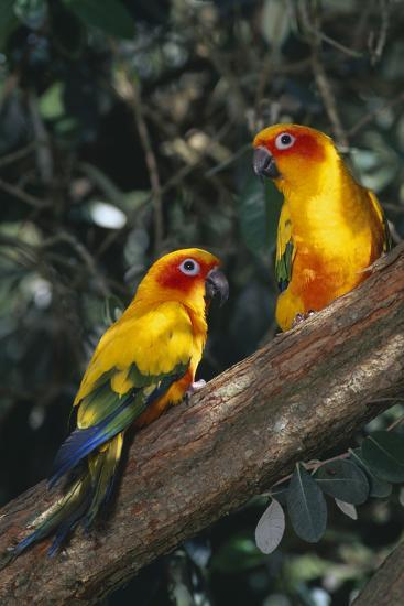 Sun Parakeets on Branch-DLILLC-Photographic Print