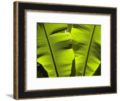 Sun Pattern on Tropical Jungle Leaf, Punta de Sal island, Honduras-Richard Nowitz-Framed Photographic Print