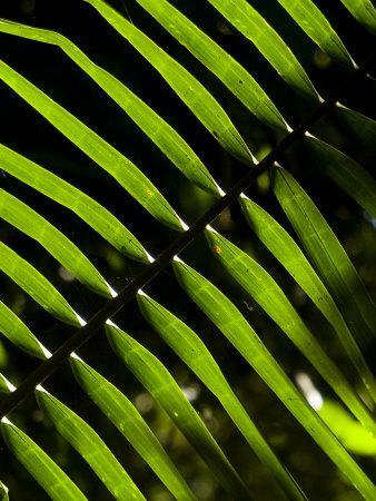 https://imgc.artprintimages.com/img/print/sun-pattern-on-tropical-jungle-leaf-punta-de-sal-island-honduras_u-l-p6fnoq0.jpg?p=0