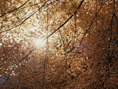 Sun Peeks Through a Canopy of Yellow Autumn Leaves-Stephen St^ John-Photographic Print