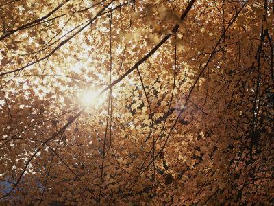 https://imgc.artprintimages.com/img/print/sun-peeks-through-a-canopy-of-yellow-autumn-leaves_u-l-p3qh1z0.jpg?p=0