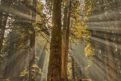 Sun Rays Penetrate Forest Floor at Ross Creed Cedar Grove in Kootenai National Forest, Montana-Chuck Haney-Photographic Print
