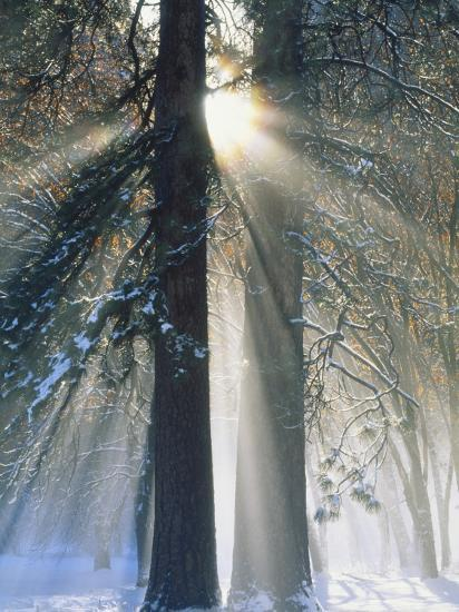 Sun Rays Streaming Through Snow Covered Trees, Yosemite National Park, California, USA-Christopher Bettencourt-Photographic Print