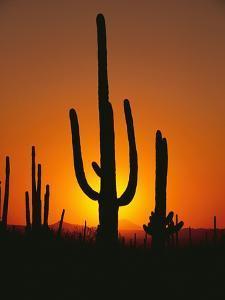Sun Setting Behind Cacti