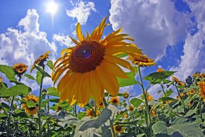 Sun Shines on a Field of Sunflowers-Donna O'Meara-Photographic Print
