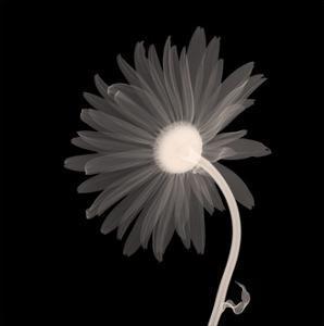 Sunburst Petals (Sepia)