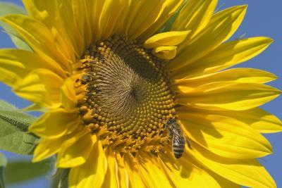 Sunflower a Honeybee (Apis Mellifera) Gathers--Photographic Print