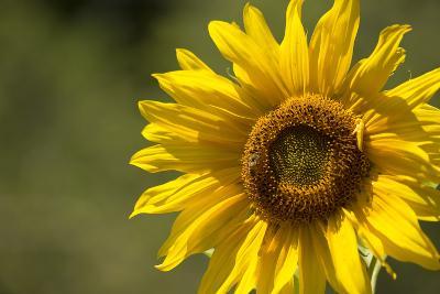 Sunflower and Bee II-Rita Crane-Photographic Print