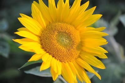 https://imgc.artprintimages.com/img/print/sunflower-blossom_u-l-pt86kq0.jpg?p=0