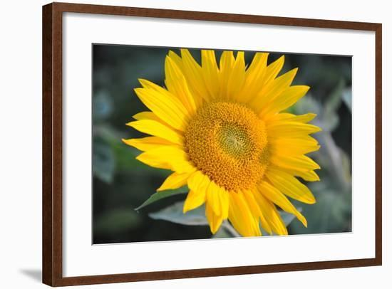 Sunflower Blossom--Framed Photo
