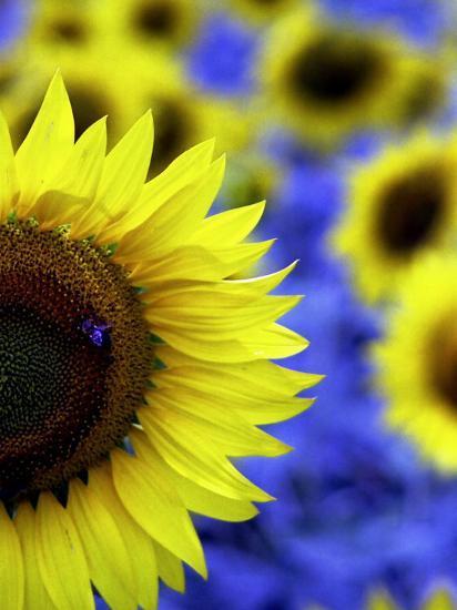 Sunflower Closeup-Abdul Kadir Audah-Photographic Print