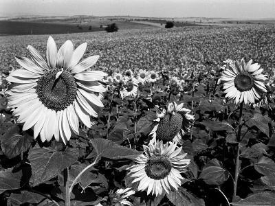 Sunflower Field in Full Bloom-Paul Schutzer-Photographic Print