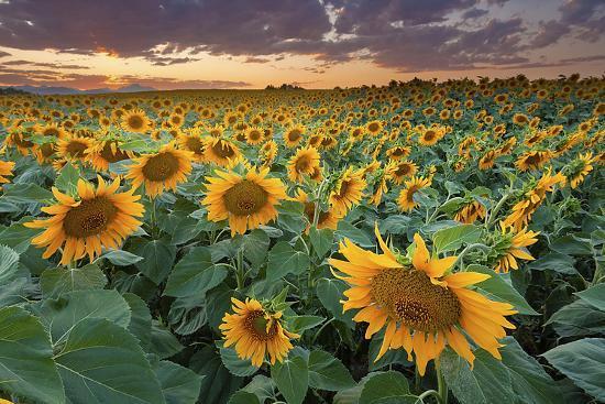Sunflower Field in Longmont, Colorado-Lightvision-Photographic Print