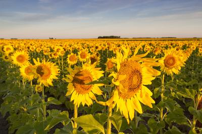 Sunflower Field in Morning Light in Michigan, North Dakota, USA-Chuck Haney-Photographic Print