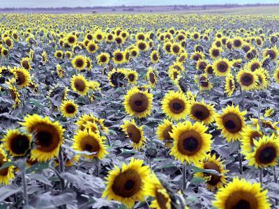 Sunflower Field, Jamestown, North Dakota, USA-Bill Bachmann-Photographic Print