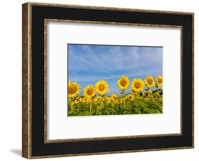 Sunflower field Sam Parr State Park, Jasper County, Illinois-Richard & Susan Day-Framed Photographic Print