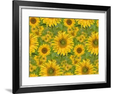 Sunflower Field-Cora Niele-Framed Giclee Print
